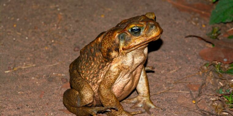 With nothing able to eat them, cane toads are eating each other