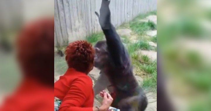 Woman claims 'affair' with chimpanzee after zoo bars her from contact