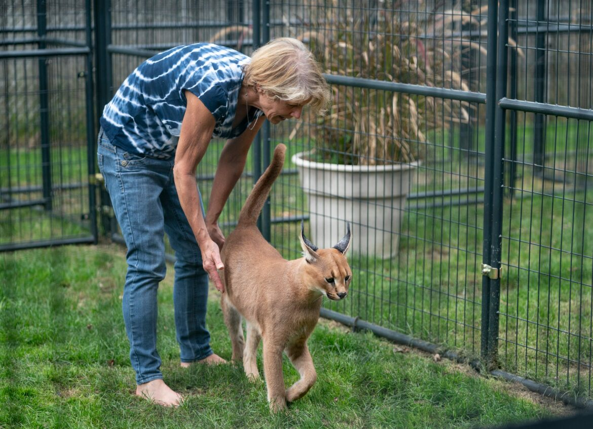 Michigan woman must find African caracal cats new home after escape